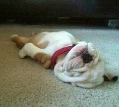 5 Adorably sleeping dogs which will make you go aww, click on the pic to see them all