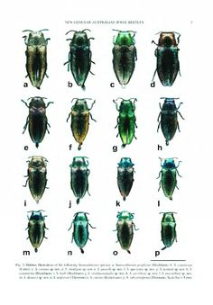Stanwatkinsius, a new genus of Australian jewel beetles (Coleoptera: Buprestidae: Agrilinae) with a key to known species - BioStor