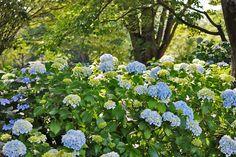 Ajisai, hydrangea in Showa Memorial Park-2
