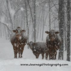 Snowy Cows in Oklahoma