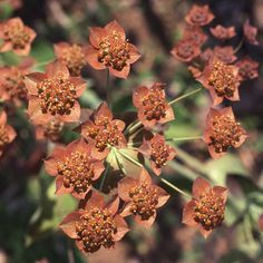 Bupleurum longifolium 'Bronze Beauty'. Jänönputki
