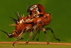 buffalo treehopper nymph | invertebrate | Pinterest | Nymphs and ... Weird Insects, Bugs And Insects, Art Vampire, Vampire Knight, Art Adventure Time, Cosplay Steampunk, Leafhopper, Real Mermaids, Fantasy Mermaids