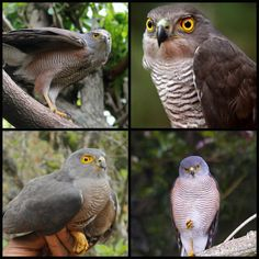 African or red-chested Goshawk (LC) Raptors, Vulnerability, Owl, African, Birds, Animals, Animales, Animaux, Owls