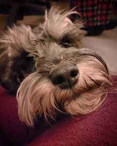 My ball of fur... #dog #dogsofinstagram #petstagram #dogstagram #photography #photooftheday #photojournalism #photojournal #photographer #dogs #doglover #jackson #pet #pup #puppy #schnauzer http://tipsrazzi.com/ipost/1514984126820693452/?code=BUGTglfgLXM