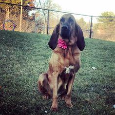 Bloodhound dog for Adoption in Maple Grove, MN. ADN-406660 on PuppyFinder.com Gender: Female. Age: Adult