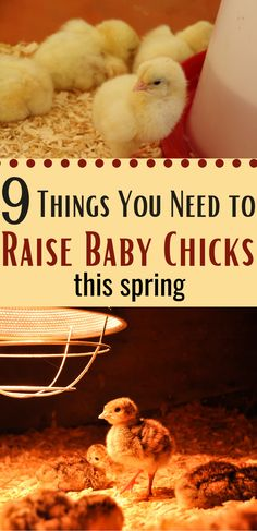 This spring is the perfect time to try raising baby chicks for the first time. Baby chicks require some simple supplies that you need to have on hand like a chick brooder, heat lamp, and baby chick food. Take a look at these 9 baby chick supplies you should have on hand. #chicks #supplies #brooder Chicken Feed, Chicken Eggs, Raising Backyard Chickens, Baby Chicks, Coops, Farm Animals, Homesteading, Gardens, Homemade