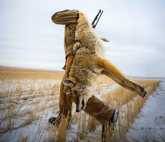 Snow Dogs: Hunting The Coyote Rut   Field & Stream