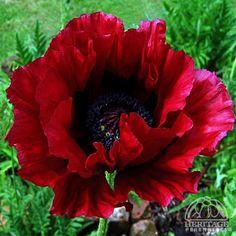 Papaver 'Heartbeat' - Super Poppy