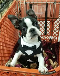 Cute Puppy Pictures, Animal Pictures, Puppy Pics, Baby Boston Terriers, Boston Terrier Love, Cute Puppies, Cute Dogs, Dogs And Puppies, Dog Rules