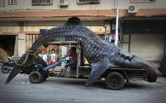 Captura de tiburòn ballena en China, mide 5 metros y pesa 2 toneladas