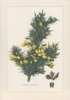 1960 Grabado Botánico de vintage Ulex europaeus por Craftissimo