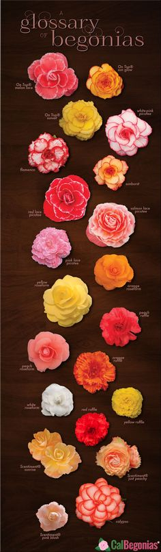 Tuberous Begonias - A Glossary of Beautiful Begonias for sale from CalBegonias.com! #tuberous #begonias