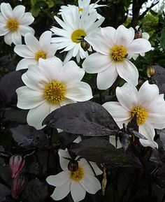 """Dahlia 'Twyning's After Eight'  white with dark foliage, 4 ft, 4"""" blooms"""
