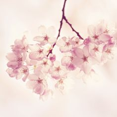 Marmont Hill Cherry Blossoms 18 X 18 In. Painting Print On Wrapped Canvas Sc 96 C 18 Cherry Blossom Painting, Cherry Blossoms, Frames On Wall, Framed Wall Art, Painting Frames, Painting Prints, Canvas Art Prints, Canvas Wall Art, Canvas Paintings