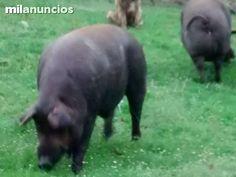 . Tres cerdos, cruce de Iberico con Blanco Belga. Son 2 hembras, la madre;3 partos es Iberica y Blanco 50%. La hija de esta, 1 parto, 25% Ibérica,50% blanco Belga, 25% Blanco, es una cerda roja. El macho, 50% Ibérico, 50% rojo salmantino. IMPRESCINDIBLE VE