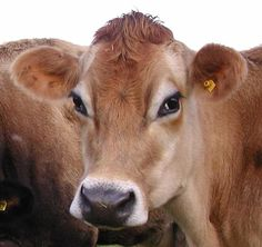 jersey cows - Google Search