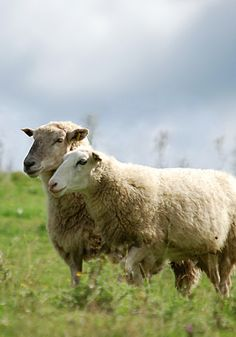 Sheep sure do like to stay close to each other. It is know to be a way of staying safe, as you are normally safer in a flock.