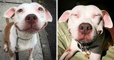 Pit Bull Abandonado Não Consegue Parar De Sorrir Após Ser Resgatado Da Rua