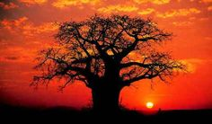 The Baobabs - The Tree of Life Baobab trees are very eerie looking and in addition to being Senegal& national symbol, they& used for n. Le Baobab, Baobab Tree, African Tree, African Sunset, Indoor Bonsai, Bonsai Seeds, Out Of Africa, Thinking Day, Tree Forest