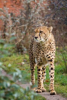 Cheetah Not Looking too Happy.