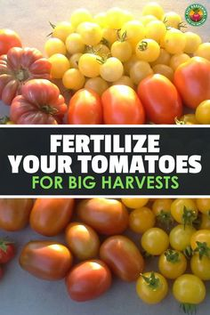 Get Ultimate Harvests By Fertilizing Your Tomatoes Right A good tomato fertilizer will make or break your tomato harvest. Find out about tomato fertilizers and how best to use them with our handy guide! Home Made Fertilizer, Tomato Fertilizer, Tomato Farming, Fall Vegetables, Planting Vegetables, Veggies, Vegetable Gardening, Veggie Gardens, Vegetable Garden For Beginners