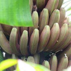 Cabosses de cacaoyer ! Agriculture, Banana, Fruit, Gardens, Tropical Garden, Bananas, Fanny Pack