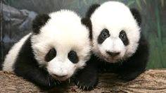 「panda」的圖片搜尋結果