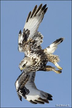 Going in for the Kill ~ Beautiful shot of the Rough-legged Hawk in flight!