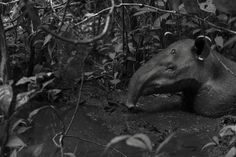 Tapir, Osa Peninsula, Costa Rica (Tico Haroutiounian)