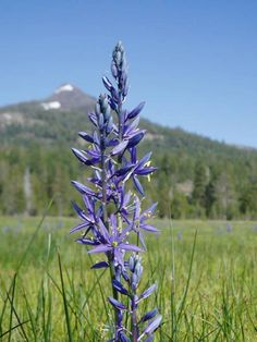 Scientific Name: Camassia quamash    Common Name: Camas Lily    Family: Lily    Color: Blue to Purple     Description: This star-shaped flow...