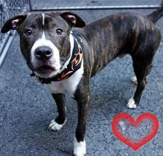 RETURNED 03/26/16 NO TIME --- SAFE 8-17-2015 --- Manhattan Center THEO – A1047126 MALE, BR BRINDLE, STAFFORDSHIRE, 1 yr STRAY – STRAY WAIT, NO HOLD Reason STRAY Intake condition UNSPECIFIE Intake Date 08/08/2015 http://nycdogs.urgentpodr.org/theo-a1047126/