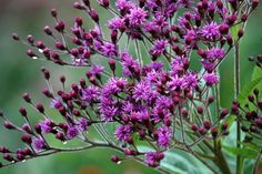 Ironweed (Vernonia altissima). An American prairie plant, member of the asteracea, blooming in fall.