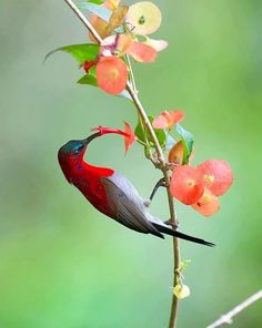 Crimson Sunbird...is so colorful and fast bird. The image was captured at Krating waterfall NP.