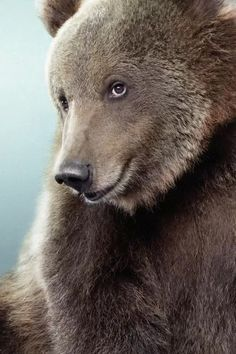 This coy brown bear though. Animals And Pets, Baby Animals, Funny Animals, Cute Animals, Wild Animals, Baby Pandas, Pretty Animals, Beautiful Creatures, Animals Beautiful