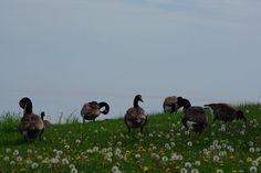 Geese . .