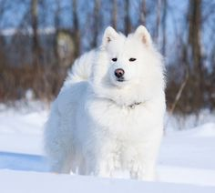 Samoyed dog on the snow by Andrey Pavlov, via Dreamstime Animals And Pets, Cute Animals, Sammy, Most Beautiful Dogs, Samoyed Dogs, Boston Terrier Dog, Fluffy Dogs, Animal Wallpaper, Old Dogs