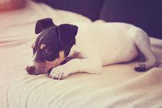 rat terrier baby #puppy