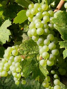 Riesling Grapes #vtrielsing #whitewine #vtwine