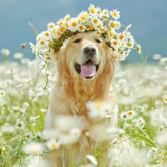 happy Golden with flower halo