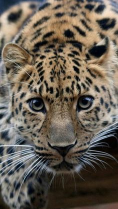 HEY ▬▬► I SEE YOU ;-)) ◑y◐ AMUR LEOPARD animal wildness puma big cat panthera panther jaguar nature amazing closeup photo by Keven Law 613122936744789564 Big Cats, Cool Cats, Cats And Kittens, Crazy Cats, Nature Animals, Animals And Pets, Cute Animals, Strange Animals, Beautiful Cats
