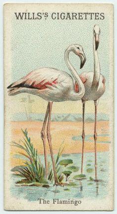 """""""The Flamingo"""" Wills Cigarette Card"""