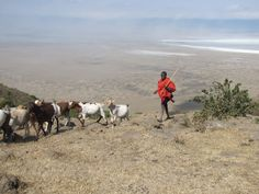 Maasai with his herd at the outskirts of Ngorongoro Crater