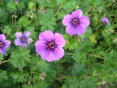 Hardy Geranium 'Dilys' (Geranium procurrens x sanguineum)