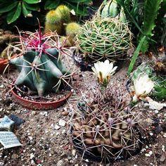 #cactuses #blooming #whiteblooms