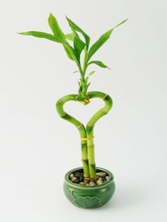 Lucky Bamboo: heart