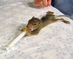Baby Squirrel...  Squirrel Rehabilitation Donations for Wildlife Conservation.