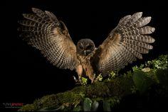 Mottled Owl (Ciccaba virgata) landing on a branch at night by Chris Jimenez Nature Photo, via Flickr