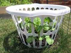 How To Grow Your Own Organic Potatoes Out Of A Laundry Basket - Whole Lifestyle Nutrition