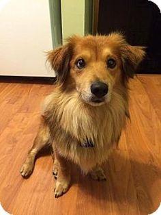 Livonia, MI - Australian Shepherd/Golden Retriever Mix. Meet Krieger, a dog for adoption. http://www.adoptapet.com/pet/14732432-livonia-michigan-australian-shepherd-mix
