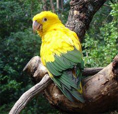 Ararajuba - em extinção . É restrita ao Brasil , vivendo do Maranhão ao oeste do Pará . Suas cores são muito vivas ( amarelo-gema e verde-bandeira)